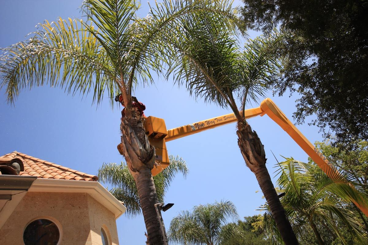 Palm Tree Trimming-Fort Lauderdale FL Tree Trimming and Stump Grinding Services-We Offer Tree Trimming Services, Tree Removal, Tree Pruning, Tree Cutting, Residential and Commercial Tree Trimming Services, Storm Damage, Emergency Tree Removal, Land Clearing, Tree Companies, Tree Care Service, Stump Grinding, and we're the Best Tree Trimming Company Near You Guaranteed!