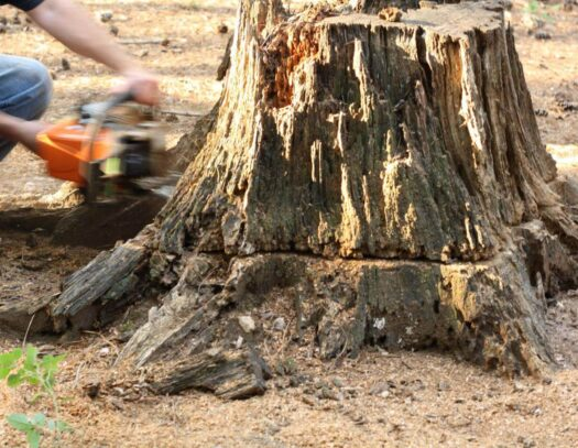 Stump Removal-Fort Lauderdale FL Tree Trimming and Stump Grinding Services-We Offer Tree Trimming Services, Tree Removal, Tree Pruning, Tree Cutting, Residential and Commercial Tree Trimming Services, Storm Damage, Emergency Tree Removal, Land Clearing, Tree Companies, Tree Care Service, Stump Grinding, and we're the Best Tree Trimming Company Near You Guaranteed!